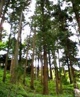 一畑薬師付近の樹木2